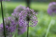 紫色花吹 免版税库存照片