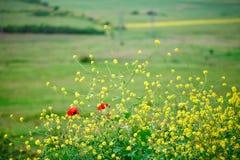 黄色花和红色鸦片在领域 库存照片
