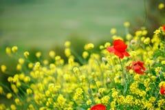 黄色花和红色鸦片在领域 免版税库存照片
