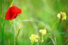 黄色花和红色鸦片在领域 库存图片