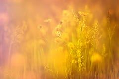 黄色花和草在晚上 免版税库存照片