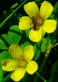 黄色花和蚂蚁 免版税库存图片