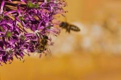 紫色花和蜂 免版税库存照片