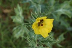 黄色花和蜂 库存图片