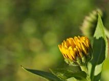 黄色花和被弄脏的绿色背景 免版税库存图片
