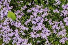 紫色花和绿色叶子背景 库存照片