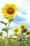 黄色花和绿色叶子 库存照片