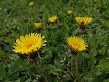 黄色花和绿色自然背景 库存照片