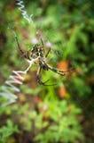 黄色花园蜘蛛 图库摄影