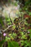 黄色花园蜘蛛 免版税图库摄影