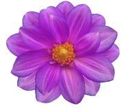 紫色花园,白色隔绝了与裁减路线的背景 特写镜头 免版税库存照片