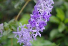 紫色花圈蓝鸫藤 免版税库存照片