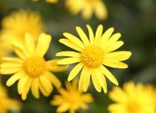 黄色花在公园 免版税库存图片