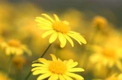 黄色花在公园 免版税库存照片
