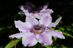 紫色花在国家庭院里 免版税库存照片