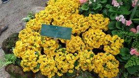 黄色花在墨尔本 库存照片