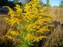 黄色花在夏天结束时 库存图片