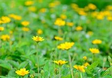 黄色花在庭院和迷离背景中 免版税库存图片