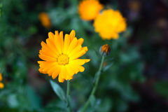 黄色花在庭院里 库存照片