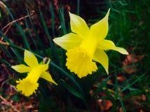 黄色花在弹簧末端的比利时时间 免版税库存照片