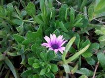 紫色花在早晨 免版税库存照片