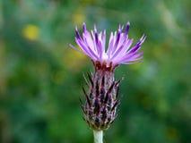 紫色花在春天看起来象菠萝的 免版税库存图片