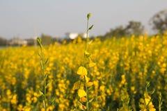 黄色花在春天草甸 免版税库存照片