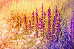 紫色花在春天 免版税库存图片