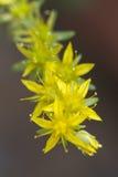 黄色花在春天 库存图片