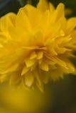黄色花在春天 免版税库存照片