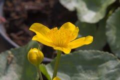 黄色花在春天 免版税图库摄影