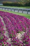 紫色花在沙漠区域(迪拜,阿拉伯联合酋长国) 免版税库存图片