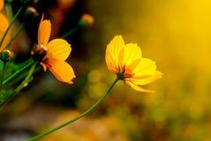 黄色花在温暖的日出开花早晨 免版税库存图片