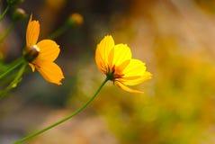 黄色花在温暖的日出开花早晨 库存图片