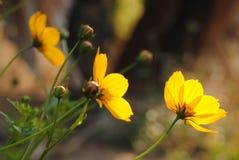 黄色花在温暖的日出开花早晨 免版税库存照片
