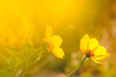 黄色花在温暖的日出开花早晨 库存照片