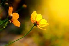 黄色花在温暖的日出开花早晨 图库摄影