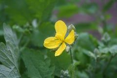 黄色花在焦点 库存图片