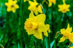 黄色花在草甸 图库摄影