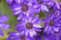 紫色花在赫特福德郡,英国 免版税库存图片