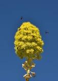黄色花在迷离蓝天背景, 12月开花中在马耳他,花,黄色开花花 马耳他植物群 怀里花 库存图片