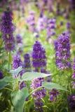 紫色花在晴朗的庭院里 库存图片