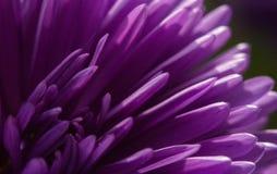 紫色花宏指令 库存图片