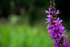 紫色花宏观射击在长的词根的 免版税图库摄影