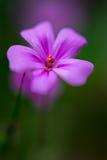 紫色花宏观看法  免版税库存图片