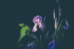 紫色花室内黑背景 免版税库存图片
