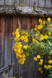 黄色花对老木墙壁 免版税库存照片