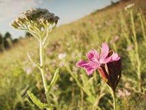 紫色花早晨照片在小山Bystricky vrch的在捷克共和国的镇Kadan附近 免版税库存照片