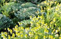 黄色花有圆白菜背景, Chiangmai,泰国 免版税库存照片