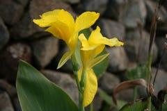 黄色花有石背景 图库摄影